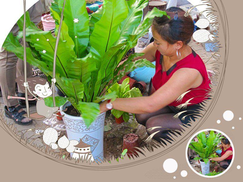 雷竞技app下载苹果春城花卉店主张女士正在给顾客栽植鸟巢蕨.jpg
