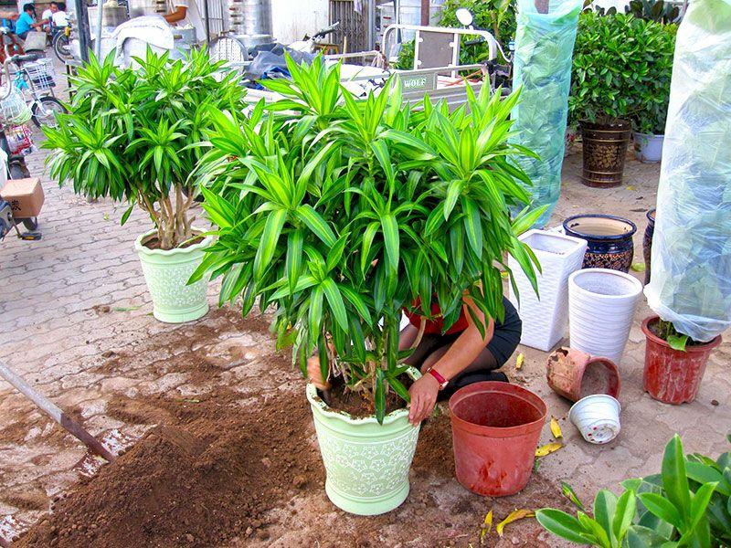 雷竞技app下载苹果春城花卉店主张女士正在给顾客栽植百合竹.jpg